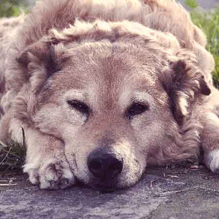 Pet Meds for Arthritis in Dogs