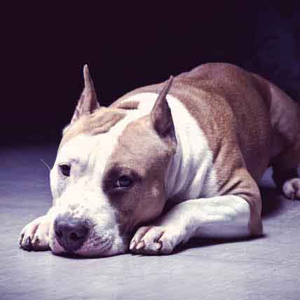 Pit Bull Behaviors