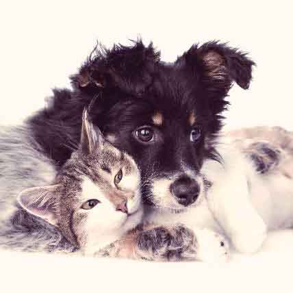 Why Renal Amyloidosis In Dogs And Cats Can Cause Kidney Failure