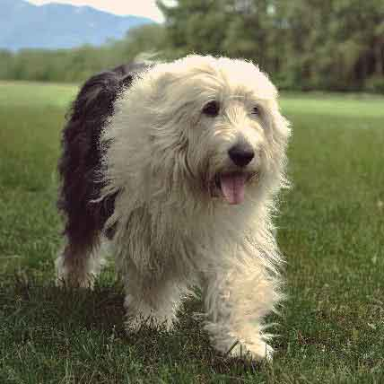 All About Sheepdog Breeds