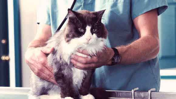 A Cat Being Held By A Veterinarian