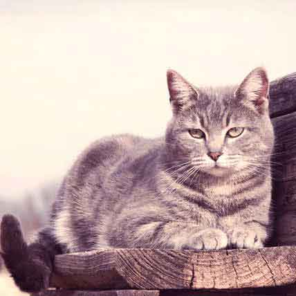 Symptoms of Hyperthyrodism in Cats
