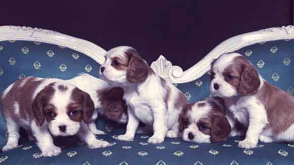 Training for a Cavalier King Charles Spaniel
