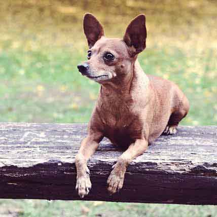 Training Your Miniature Pinscher