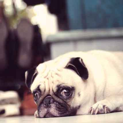 Treating and Managing Pug Encephalitis