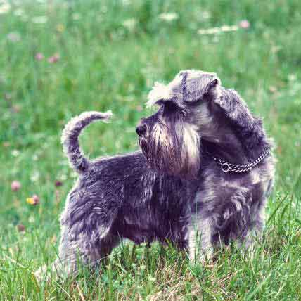 Ways To Teach a Miniature Schnauzer Not To Bark
