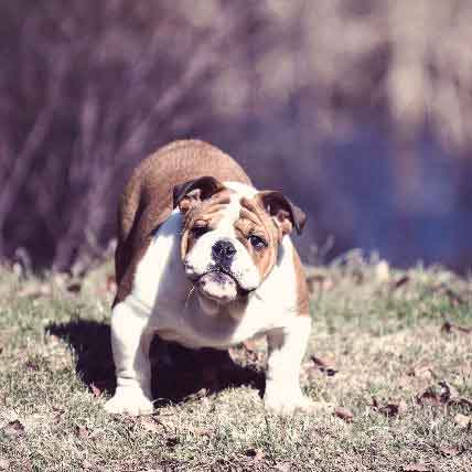 What Is Cherry Eye In Bulldogs?