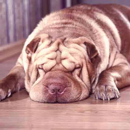 What Is Shar-Pei Fever?