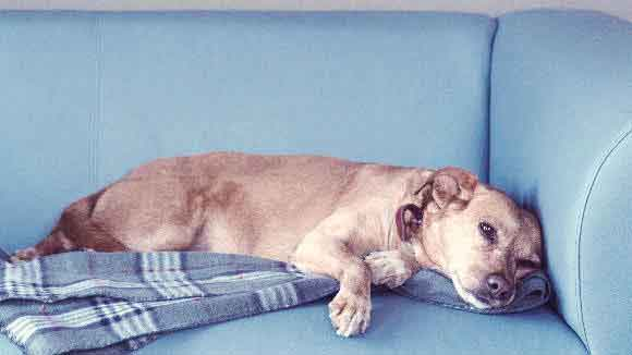 Unhappy Dog Laying On A Couch