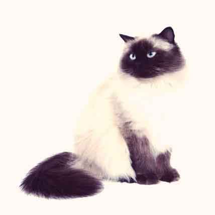 The Most Expensive Cat Breeds