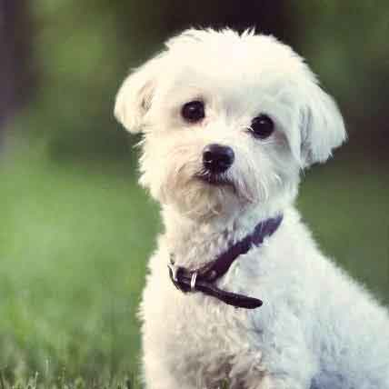 Beautiful White Dog Breeds
