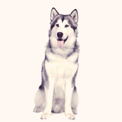 Alaskan Malamute photo