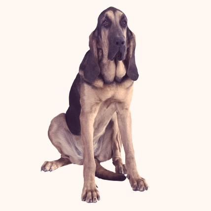 Bloodhound dog photo