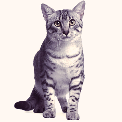Egyptian Mau cat photo