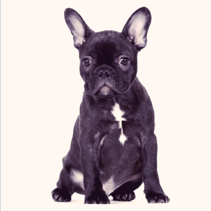 French Bulldogs photo