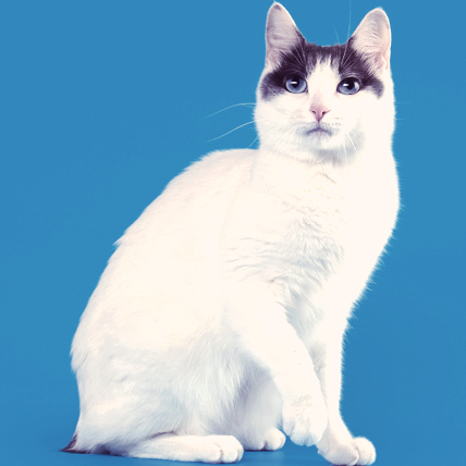 Japanese Bobtail photo