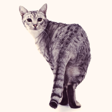 Ocicat cat photo