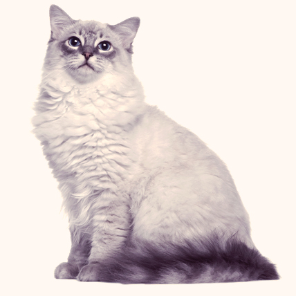 Ragdoll cats photo