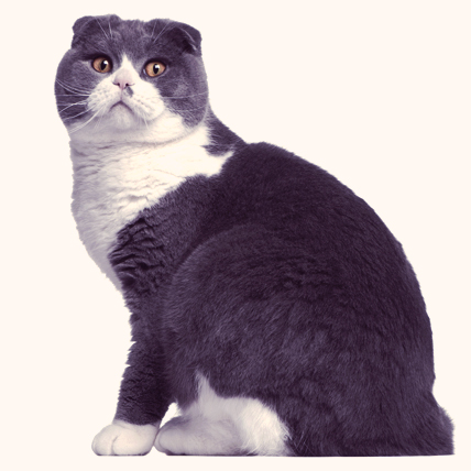 Scottish Fold cats photo