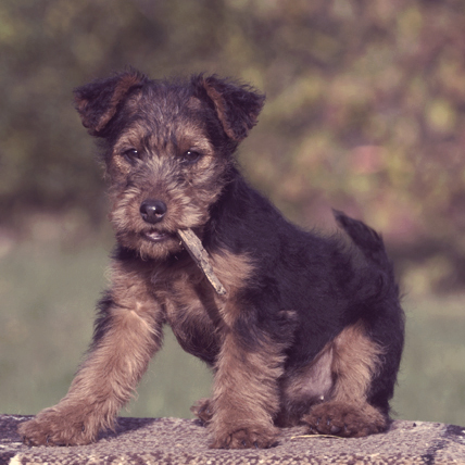 Welsh Terriers photo