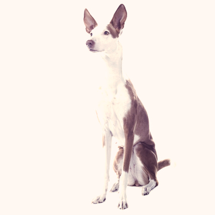 Ibizan Hound photo