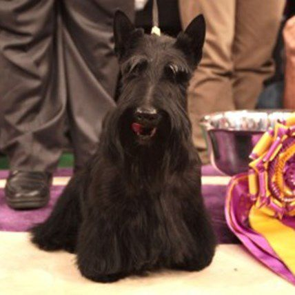 Are You Ready for the Westminster Dog Show?