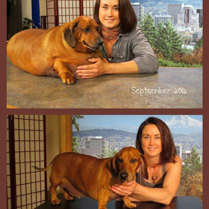Obie, the Once 77 Pound Dachshund, Inspires the World with His Weight Loss Journey