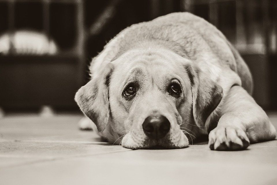 What Should You Do if Your Dog is Suffering From Pancreatic Insufficiency?