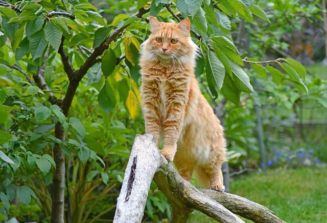 Health Issues Affecting Maine Coon Cats